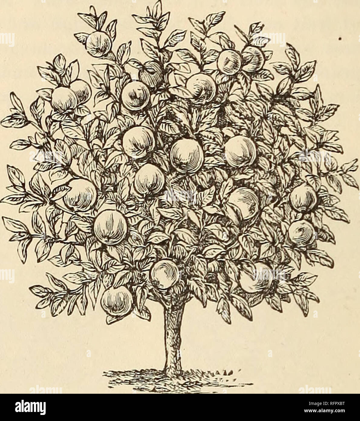 . Cassell's popular gardening. Gardening. 18 CASSELL'S POPULAR GARDENING. iato this form so naturally as the Pear, and there is one form of it, the semi-weeping conical, that very few apples are sufficiently slender, or semi-pendent, to be moulded into. Still, the Apple may readily be grown into a pyramid, albeit it has a tendency to become broad at base and upwards in proportion to its height. So much is this the case, that most pyramidal Apples are really of a sort of hybrid form between a bush and a cone. Nor are these at all objectionable, as they suit the idiosyncrasy of Apple habit, and  - Stock Image