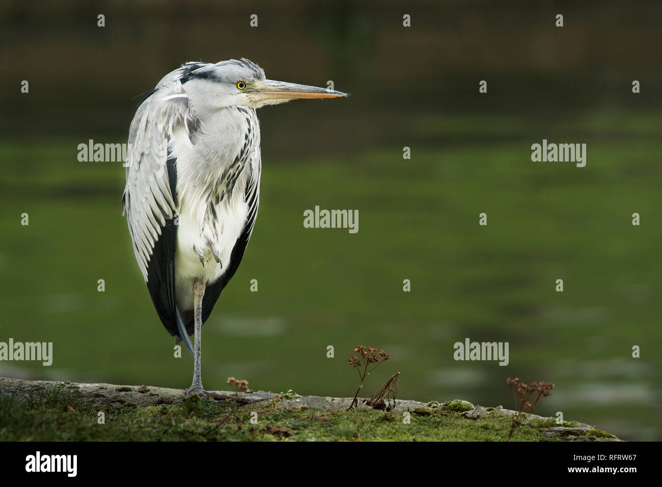 A grey heron stands crouched head into body on one leg at the side of a river waiting patiently and attentively. - Stock Image