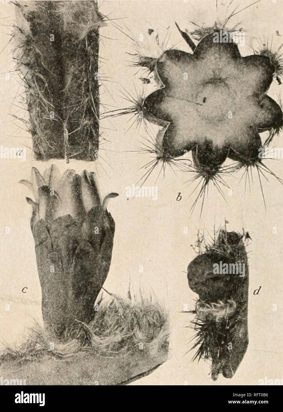 . Carnegie Institution of Washington publication. Till' CACTACEAE. hi our original description we referred here specimens from northern Colombia which wr now include in ( V/n/;<//< crciis russelianus. Illustrations: Contr. U. S. Nat. Herb. 12: pi. 62, 63. l:ii;nrc 82 is from a photograph of the plant; figure 83 a shows a piece of the stem; figure S3 & a cross-section of the stem; figure 83 c a flower; and figure 83 J a flower-bud; all are from photographs of the type specimen by Henry Pittier. '• 44. Cephalocereus purpusii sp. nov. Stems slender, 2 to 3 meters high, sim- ple or more  - Stock Image