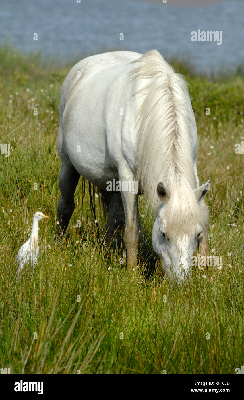 White Camargue Horse Grazing & Cattle Egret, Bubulcus ibis, Grazing in the Camargue Wetlands Provence France Stock Photo