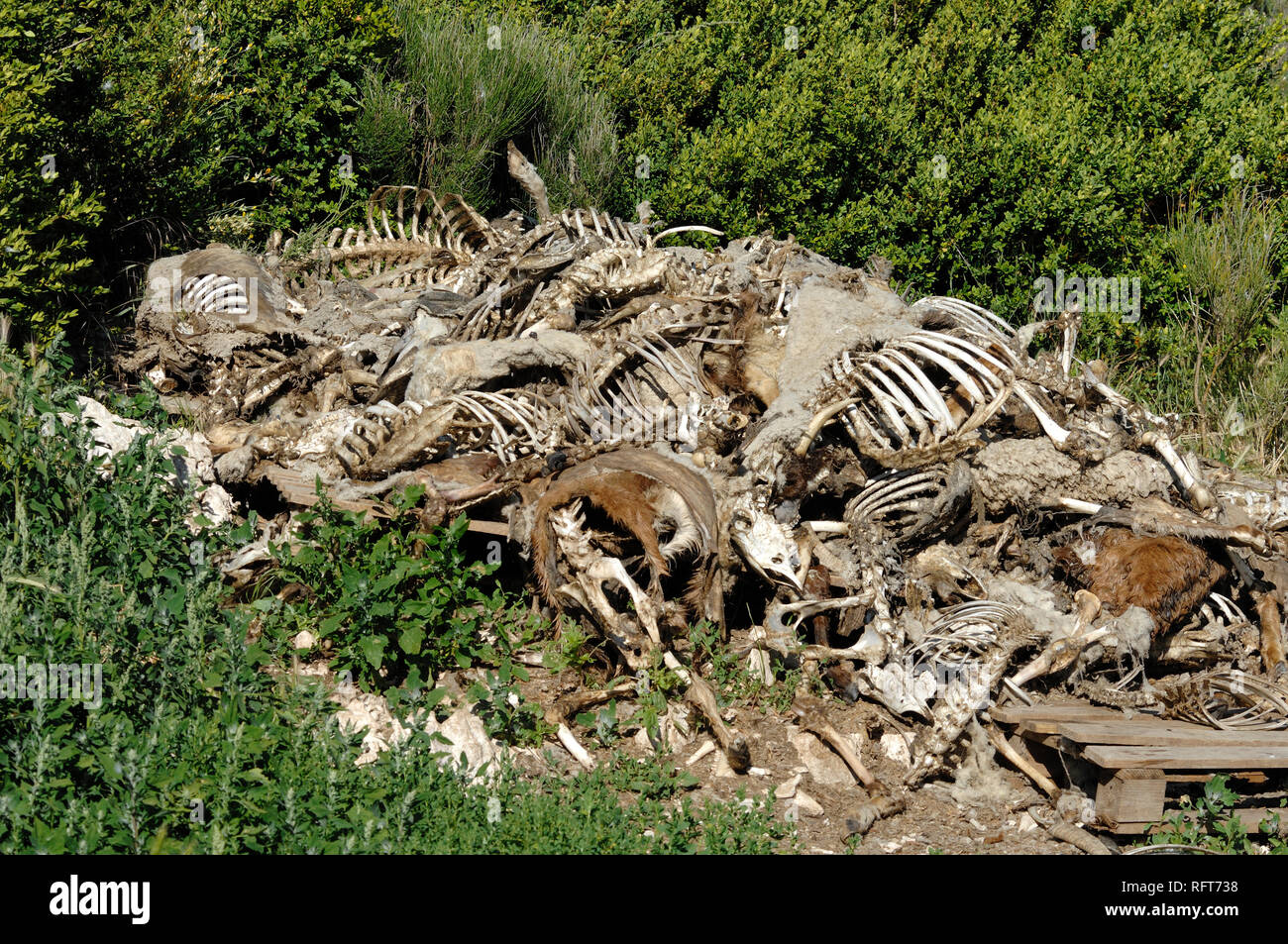 Pile of Sheep Carcasesor Carcasses, Bones or Skeletons, Picked Clean by Vultures in the Verdon Gorge Regional Park Alpes-de-Haute-Provence France - Stock Image