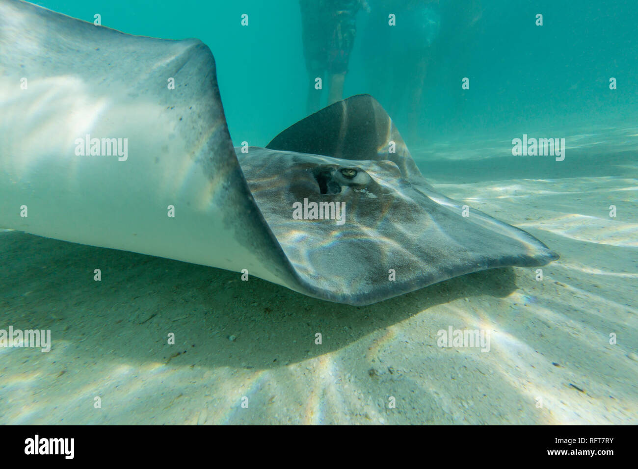 Giant stingray (Dasyatis spp) cruising with tourists in the shallow waters of Stingray City, Society Islands, French Polynesia, South Pacific, Pacific - Stock Image