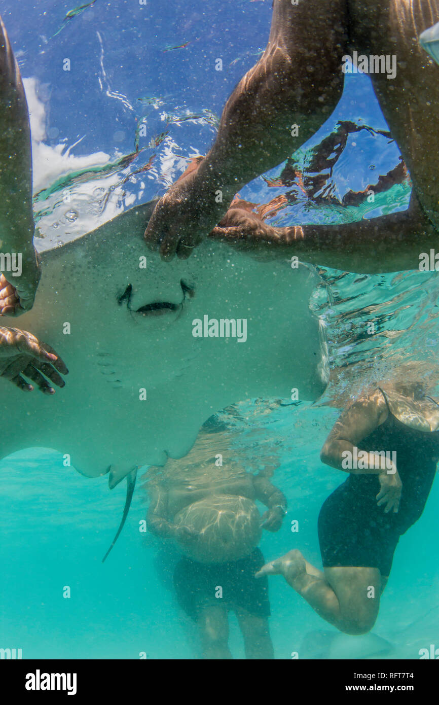 Giant stingray (Dasyatis spp), being fed by local guide in the shallow waters of Stingray City, Society Islands, French Polynesia, Pacific - Stock Image