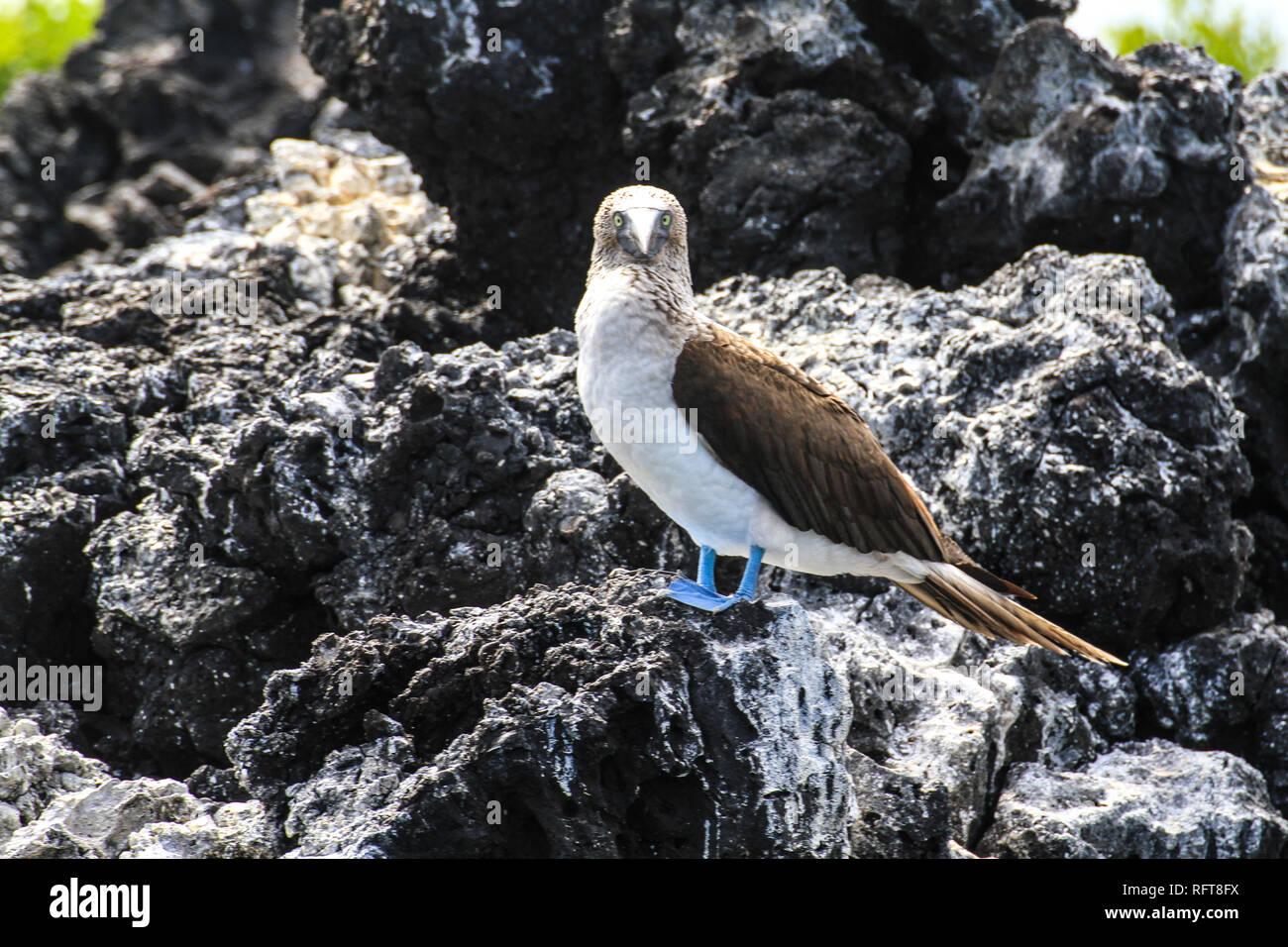 Blaufußtölpel auf Galapagos, einer der typischen Seevögel der Inselgruppe im Pazifik - Stock Image