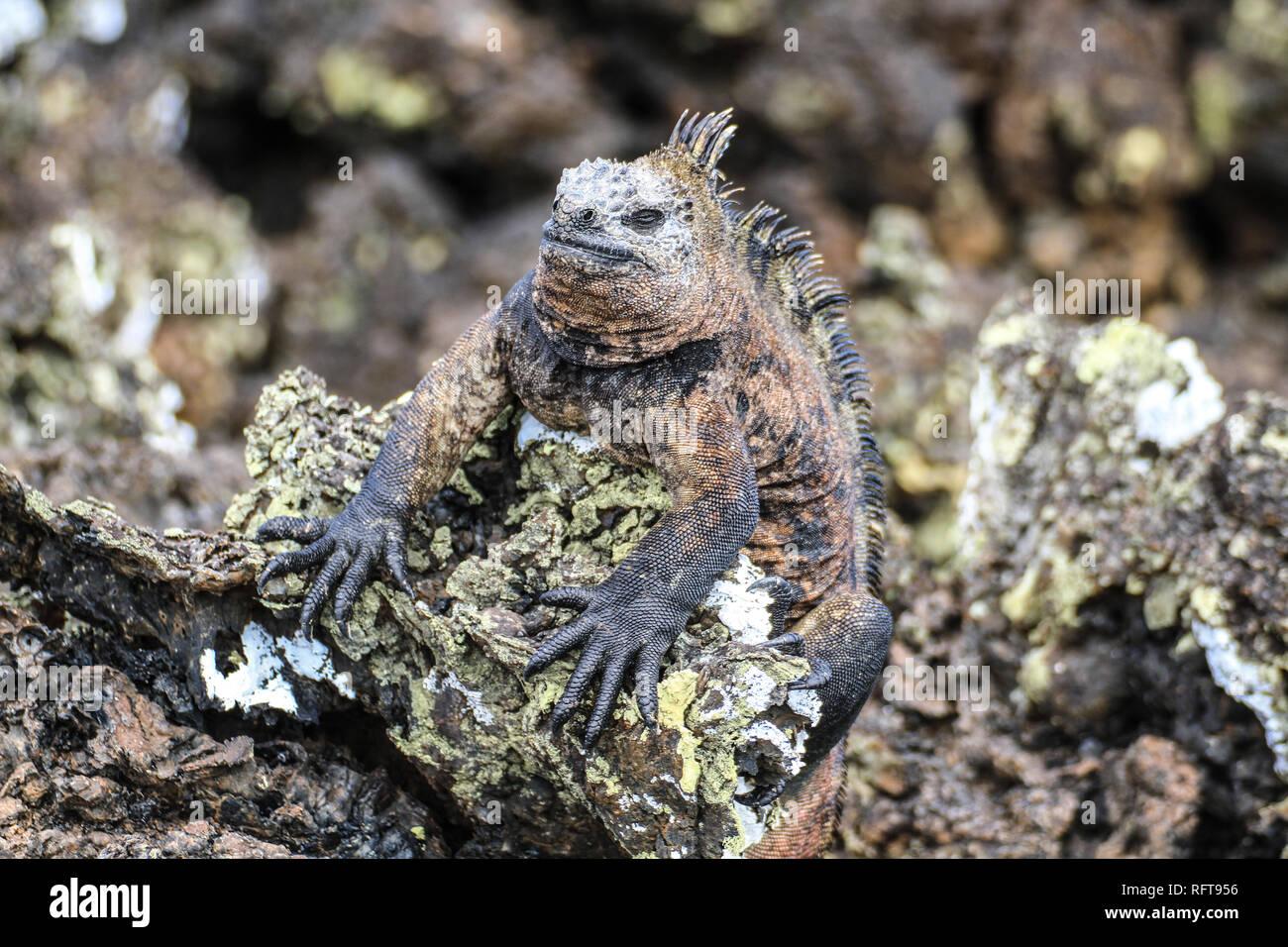 Marina iguana at Galapagos islands, Ecuador - Stock Image
