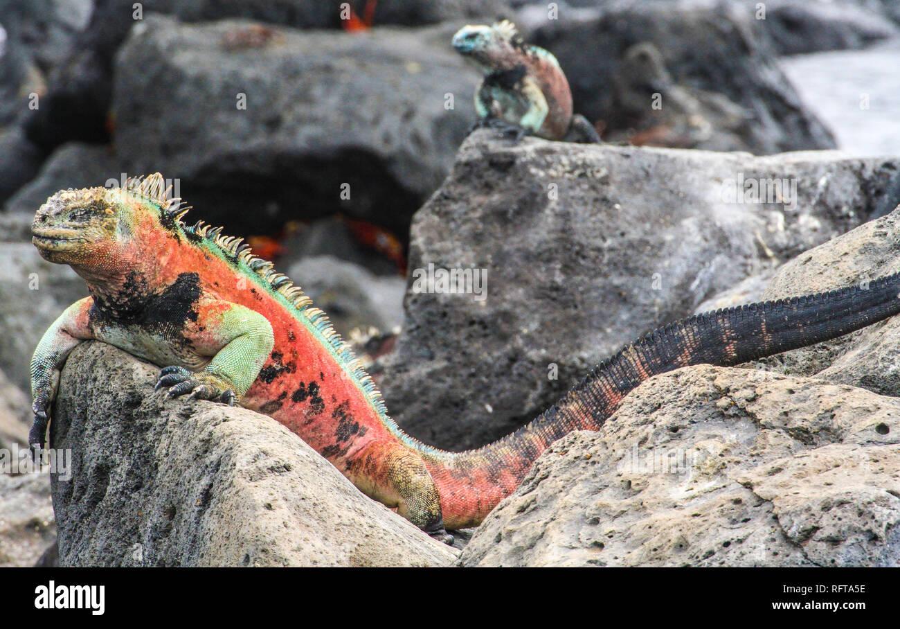 Colorful marina iguana at Galapagos islands, Ecuador - Stock Image