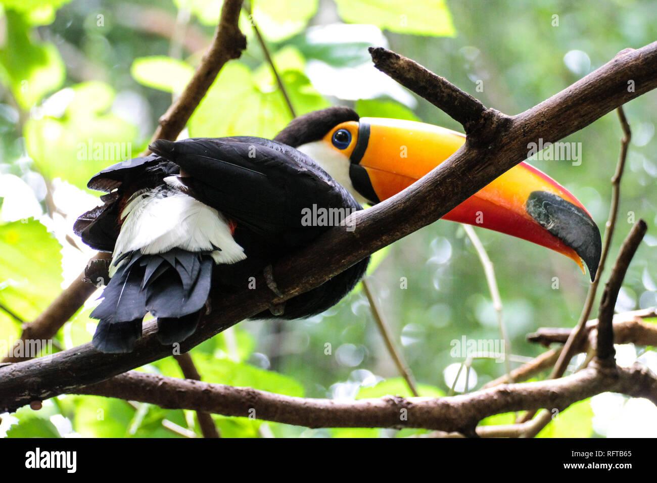 Tukan, einer der schönsten tropischen Vögel - Stock Image