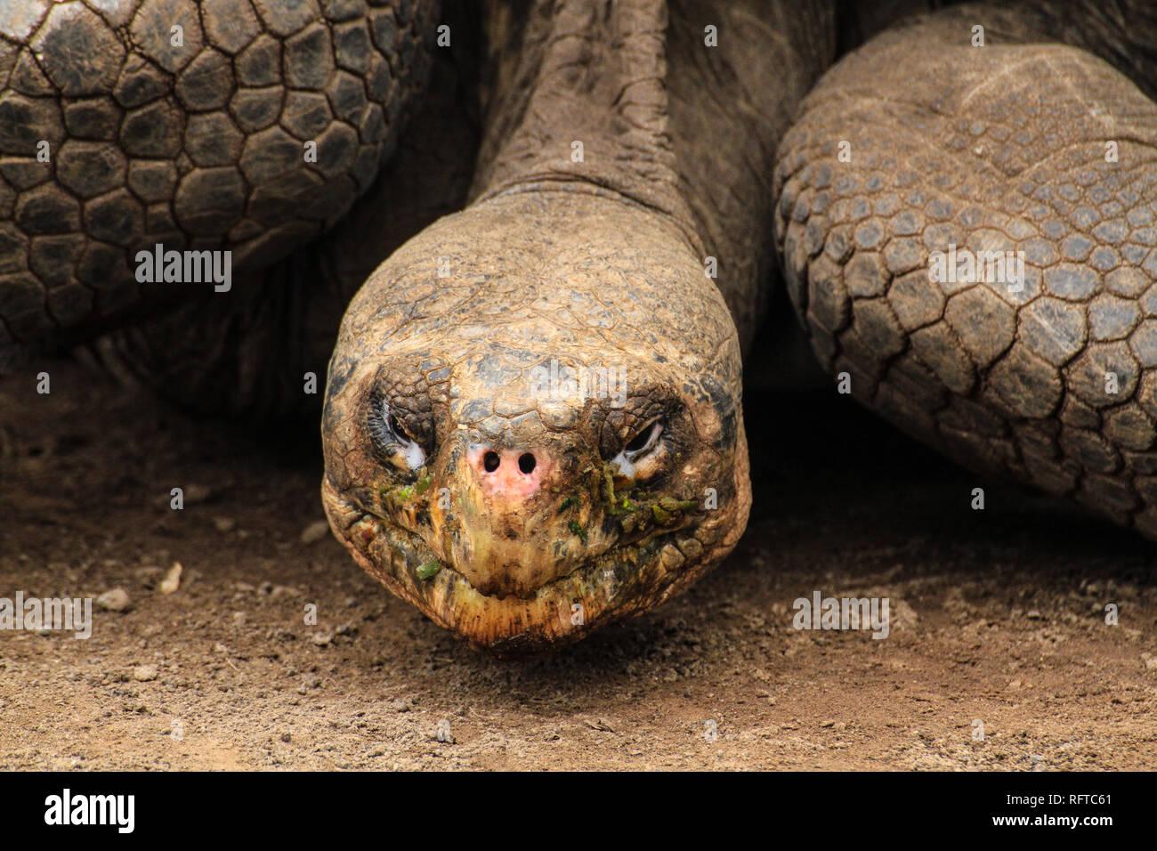 Riesenschildkröte, endemisch auf den zu Ecuador gehörenden Galapagos-Inseln im Pazifik - Stock Image