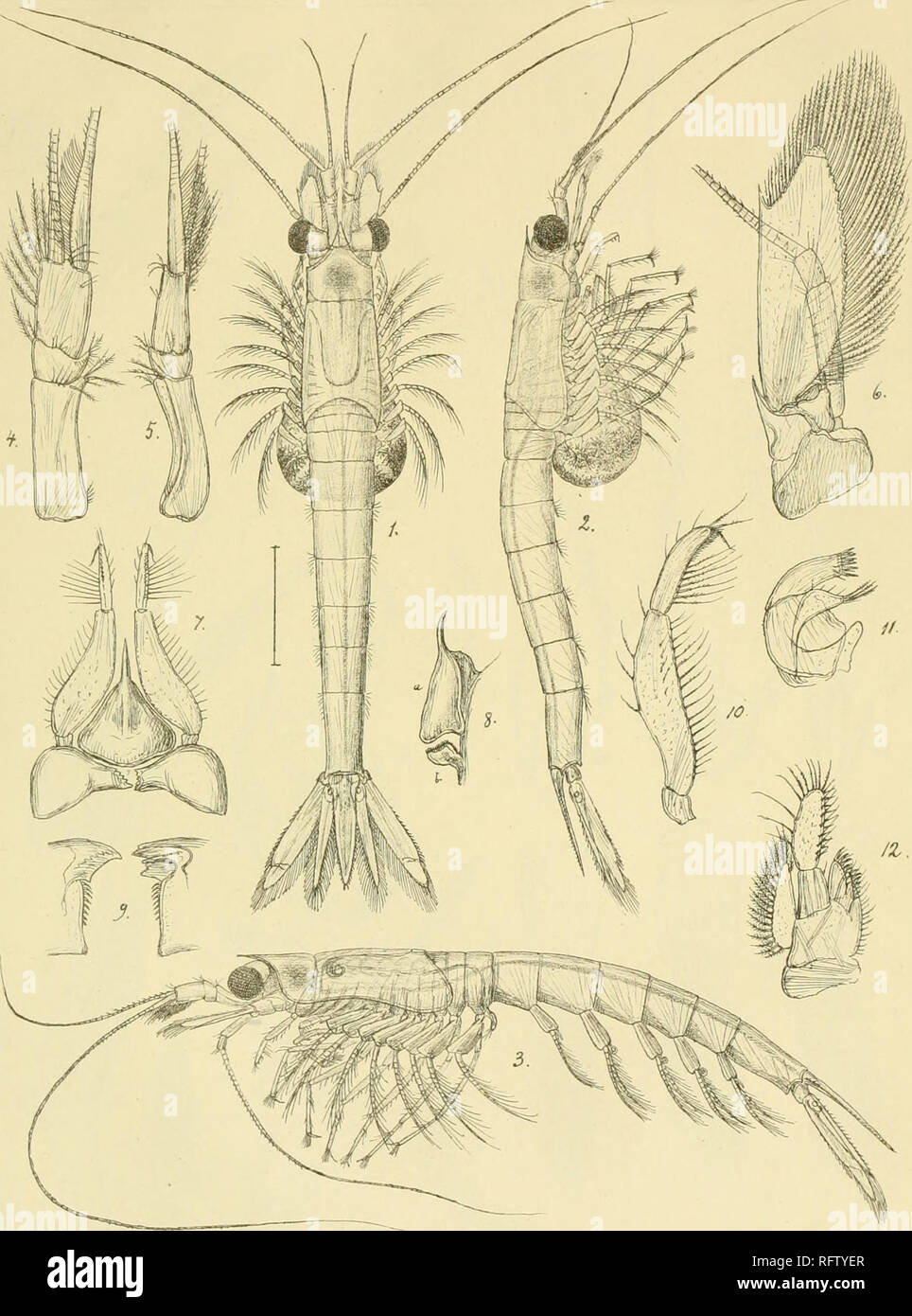 . Carcinologiske bidrag til Norges fauna. Mysidae; Crustacea. 7Z^-xi7r.. Please note that these images are extracted from scanned page images that may have been digitally enhanced for readability - coloration and appearance of these illustrations may not perfectly resemble the original work.. Sars, G. O. (Georg Ossian), 1837-1927; Kongelige Norske videnskabers selskab. Christiania, Brøgger & Christie's bogtrykkeri Stock Photo