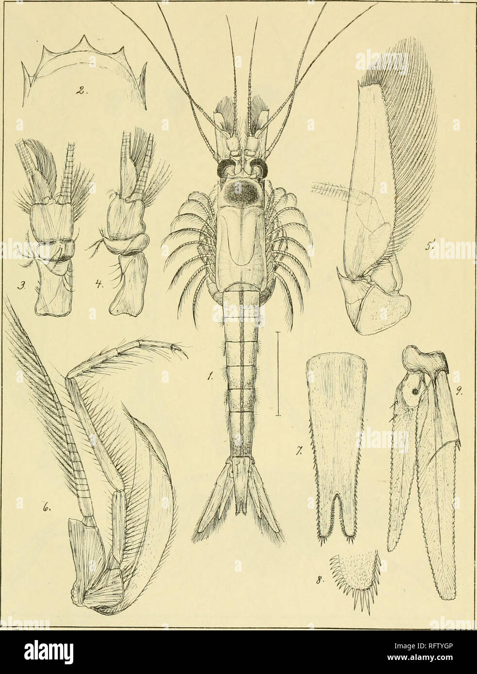 . Carcinologiske bidrag til Norges fauna. Mysidae; Crustacea. Tzf.xiv:. -L jc^ir^ U4?i. /n^o 4... Please note that these images are extracted from scanned page images that may have been digitally enhanced for readability - coloration and appearance of these illustrations may not perfectly resemble the original work.. Sars, G. O. (Georg Ossian), 1837-1927; Kongelige Norske videnskabers selskab. Christiania, Brøgger & Christie's bogtrykkeri Stock Photo