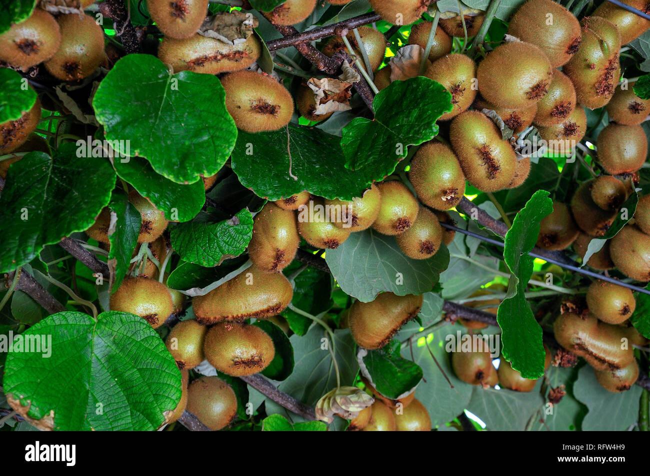 Kiwi fruit on a tree branch. Ripe fruits of kiwi plant organic cultivation. - Stock Image
