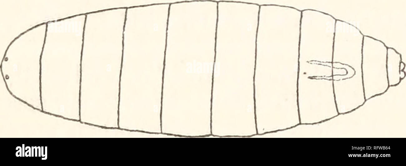 . Carnegie Institution of Washington publication. 42 FAUNA OF MAYFIELD'S CAVE.. FIG. 7.—Pupa of Oecothea fenestralis, Dorsal view. X 15.. Please note that these images are extracted from scanned page images that may have been digitally enhanced for readability - coloration and appearance of these illustrations may not perfectly resemble the original work.. Carnegie Institution of Washington. Washington, Carnegie Institution of Washington - Stock Image
