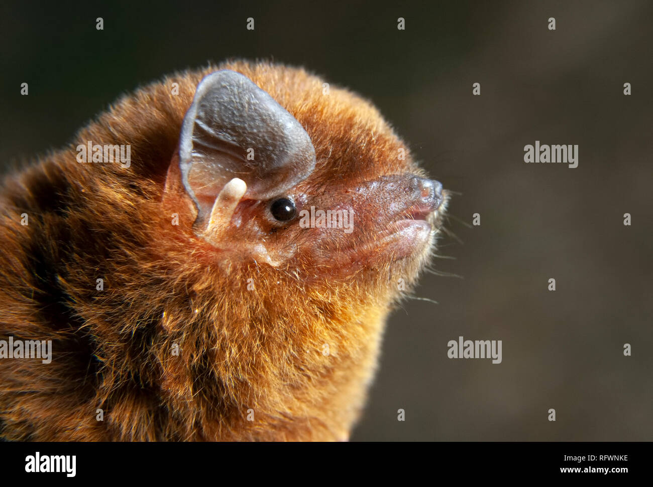 Greater long-fingered (or bent-winged) bat (Miniopterus inflatus) head, Kakamega Forest, Kenya. Stock Photo