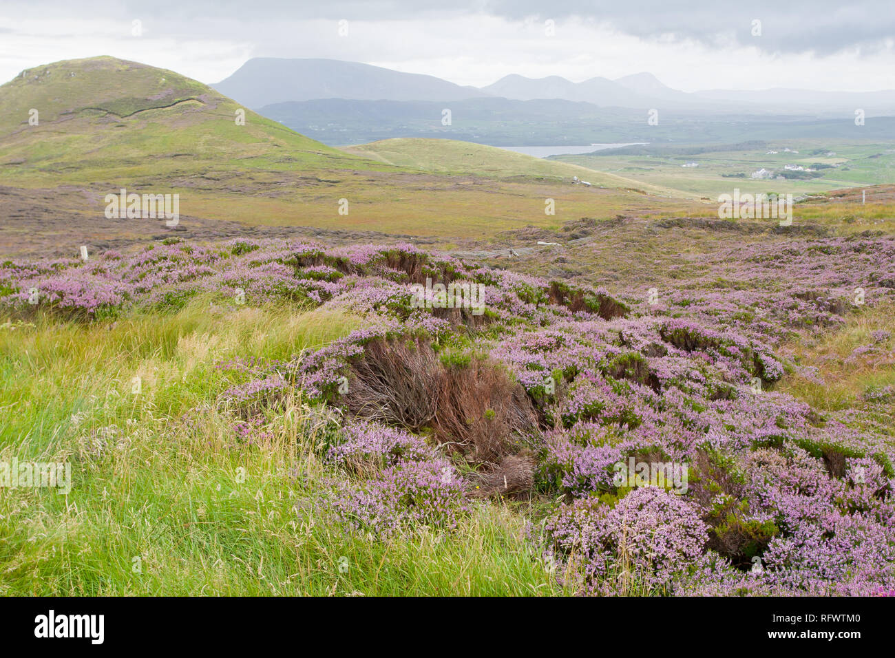 Heather-filled fields near Dunfanaghy, County Donegal, Ulster, Republic of Ireland, Europe - Stock Image