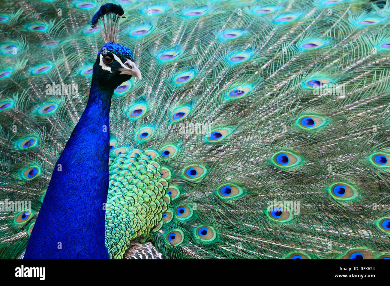 A male peacock wears and displays his brilliantly coloured feathers like a designer ball gown. Stock Photo