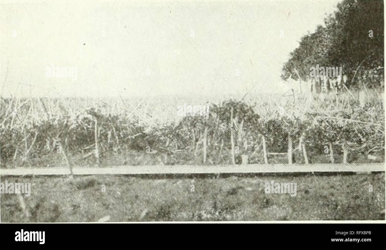 . Canadian journal of agricultural science. Agricultural Institute of Canada; Agriculture. SCIENTIFIC AGRICULTURE January, 1921.. Figure 3.âHeaving of Alfalfa in Spring. The crown of the plants with single tap-roots are pushed out several inches above the surface of the soil. root were practically all heaved out of the soil, some having their roots lifted and expased above the sur face of the ground for over four inches whilst those few plants having branched roots were so firmly anchored that they had suffered comparatively little from .heaving. It may be pointed out that the heaving of the t - Stock Image