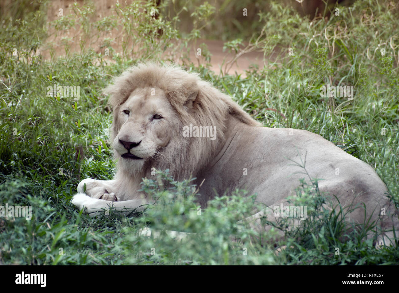 The white lion is occasionally is a rare color mutation of the Kruger subspecies of lion (Panthera leo krugeri). - Stock Image