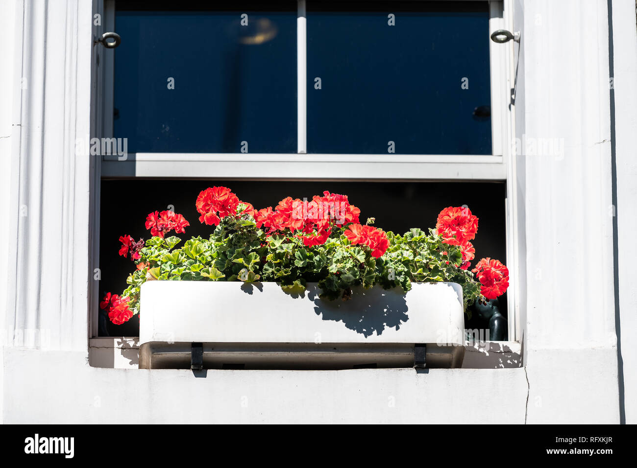 London city closeup of window and red green geranium flower decorations box on sunny summer day and nobody architecture in Chelsea Kensington - Stock Image