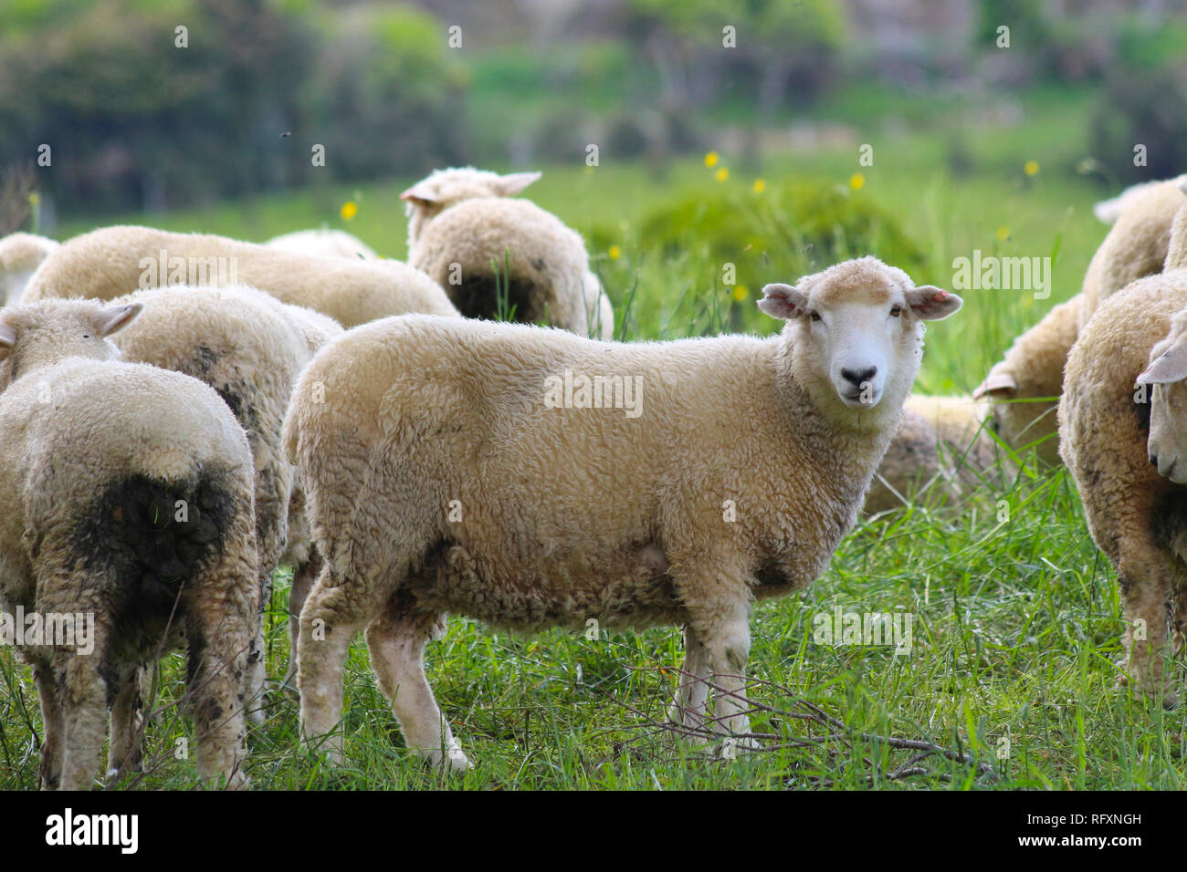 Sheep, The Catlins, South Island, New Zealand. Wool has historically been one of New Zealand's major exports - Stock Image