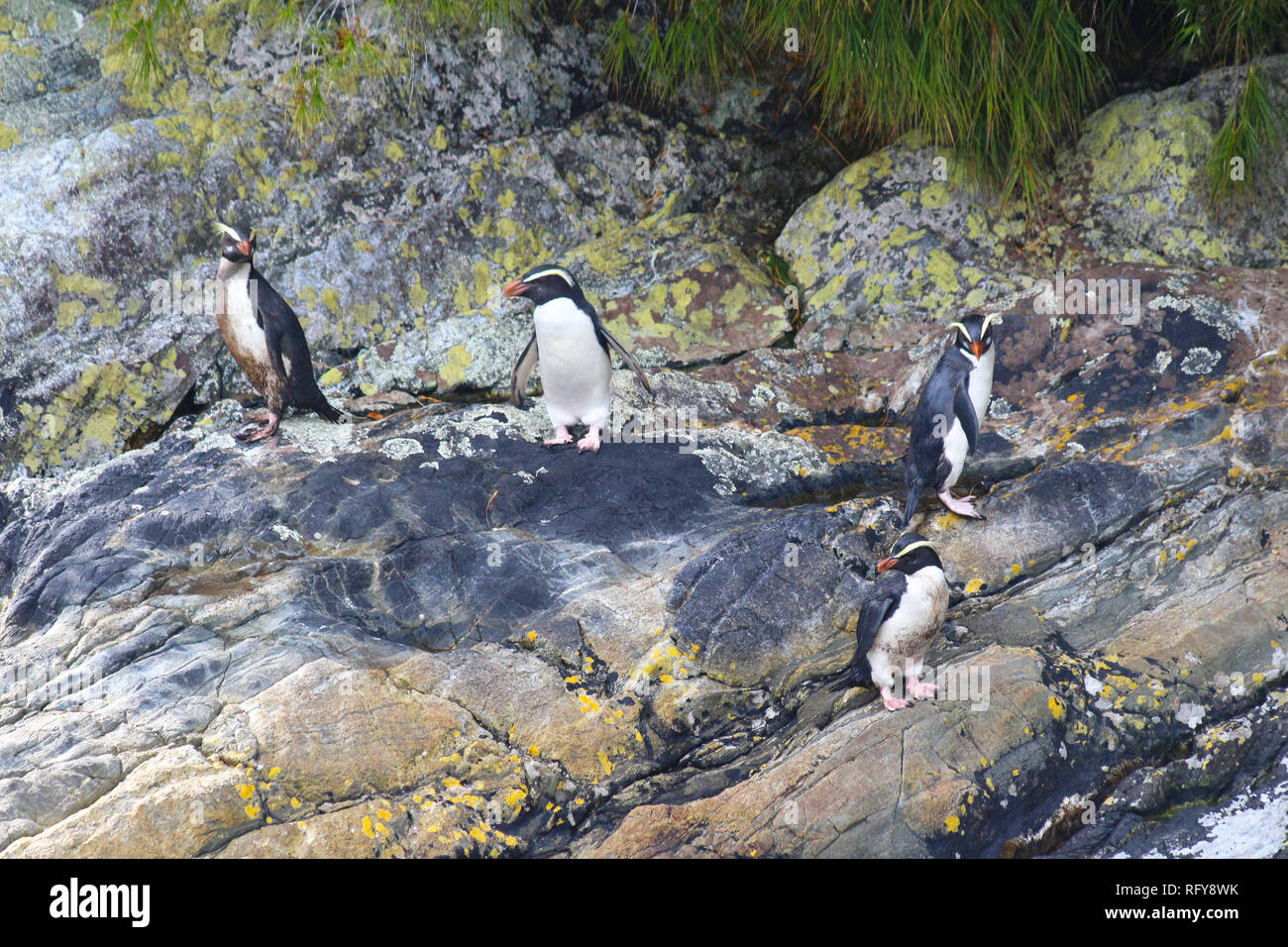 Fiordland penguin (Eudyptes pachyrhynchus), Doubtful Sound, Fiordland National Park, South Island, New Zealand Stock Photo