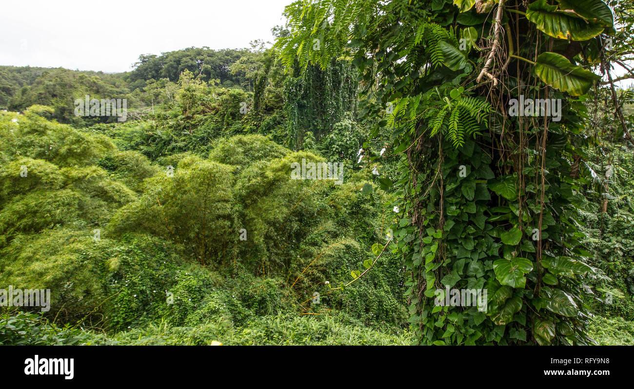 High bamboo plants, lianas and dense tropical vegetation at the Akaka Falls State Park, Big Island, Hawaii Stock Photo