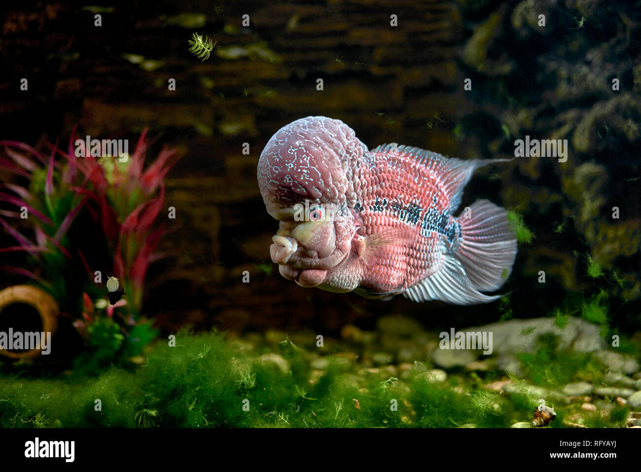 Flowerhorn Stock Photos & Flowerhorn Stock Images - Alamy