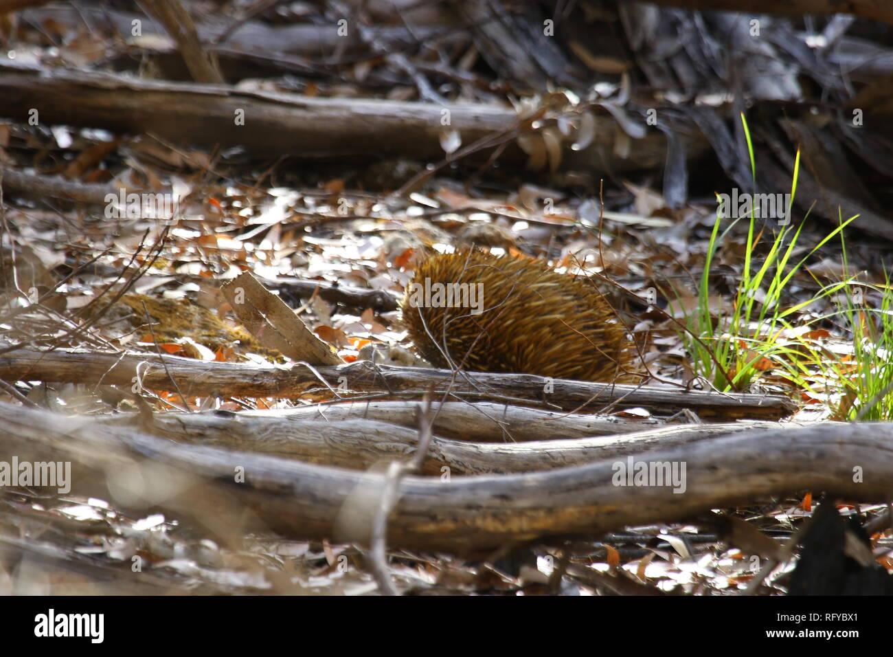 Australia Ant Hedgehog Ameisenigel Australien - Stock Image