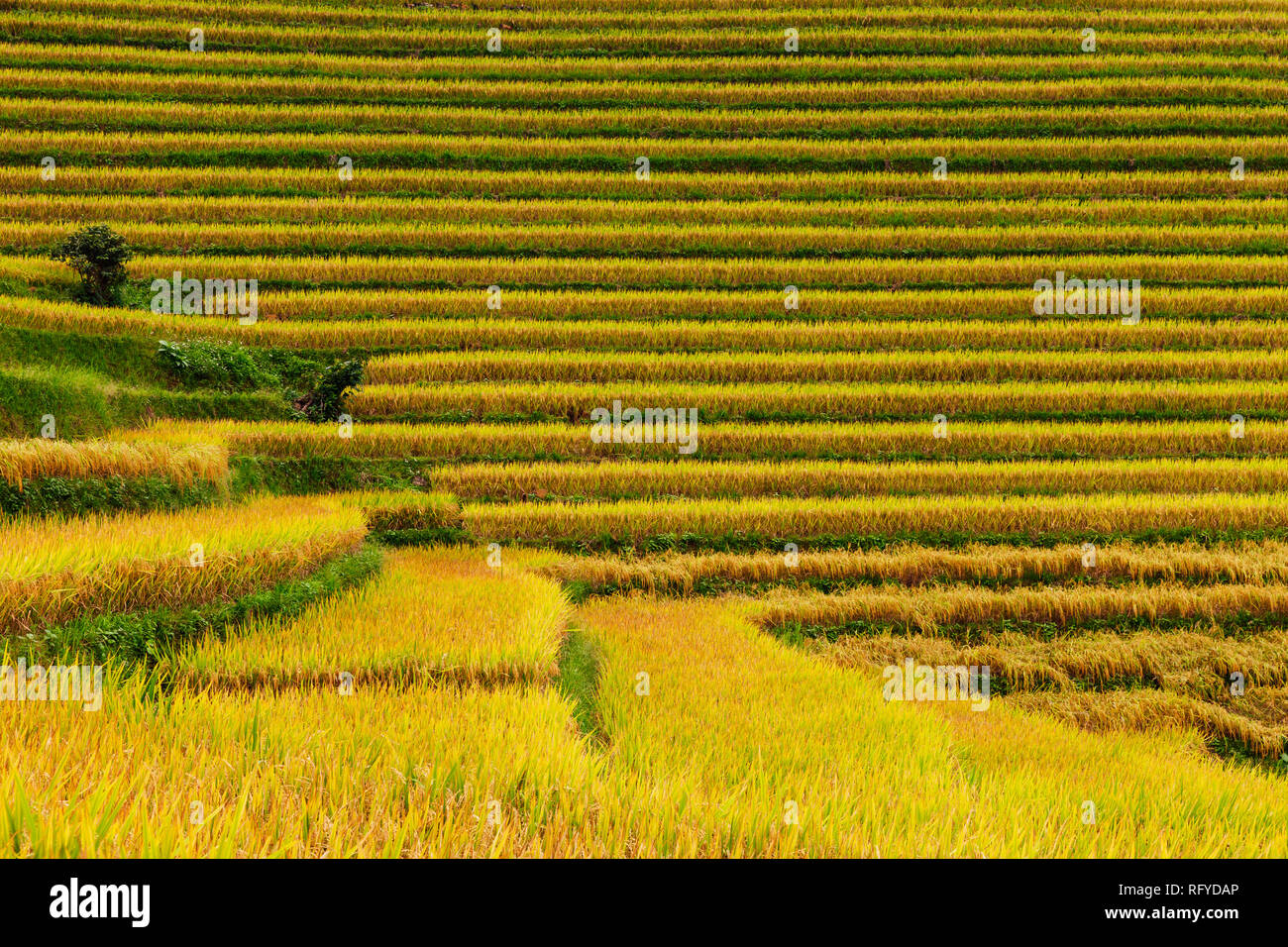 Close-up view of lines, textures, and colours of the rice paddies, Sapa, Vietnam - Stock Image