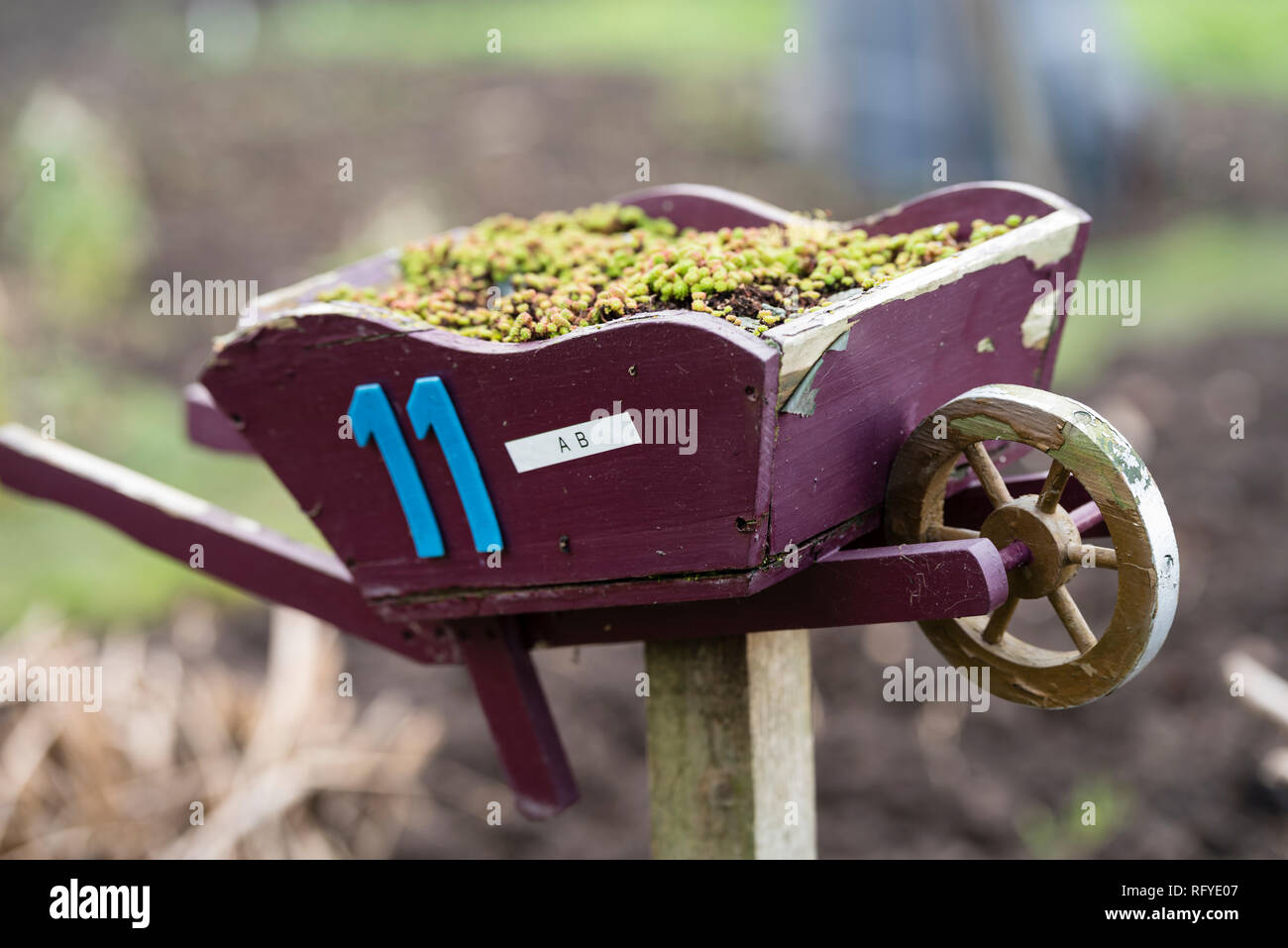 Quirky allotment plot marker of a miniature wheelbarrow with sedums. - Stock Image