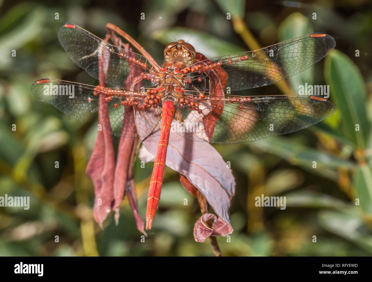 red darter male dragonfly at rest covered in water mites Stock Photo