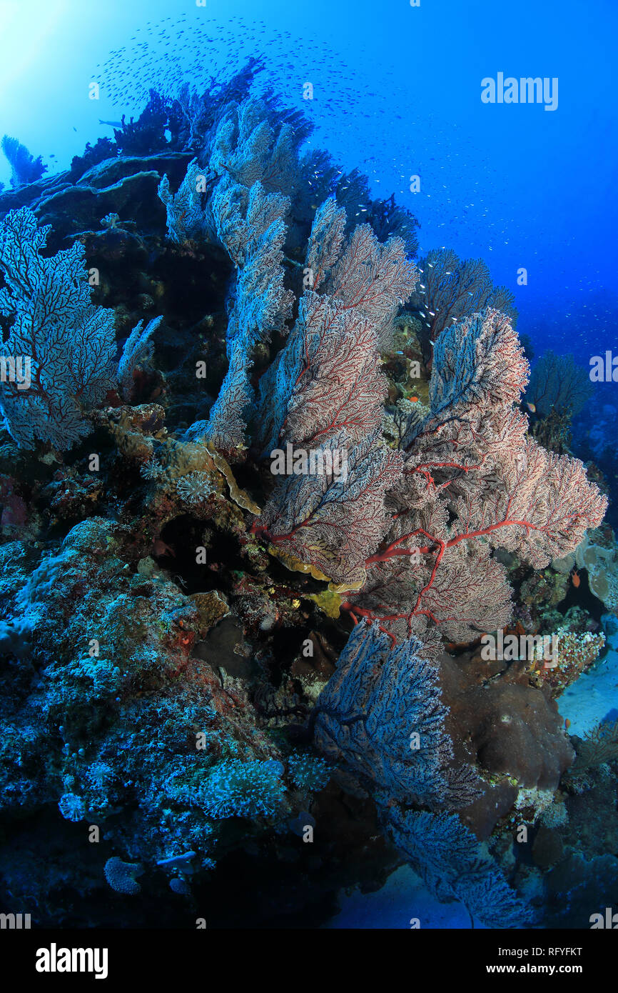 Beautiful soft corals underwater in the Osprey reef in the Coral sea close to Australia - Stock Image