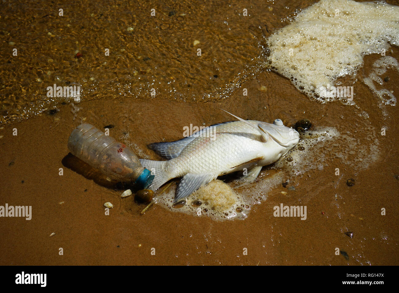 Dead fish and plastic bottle on beach - Stock Image