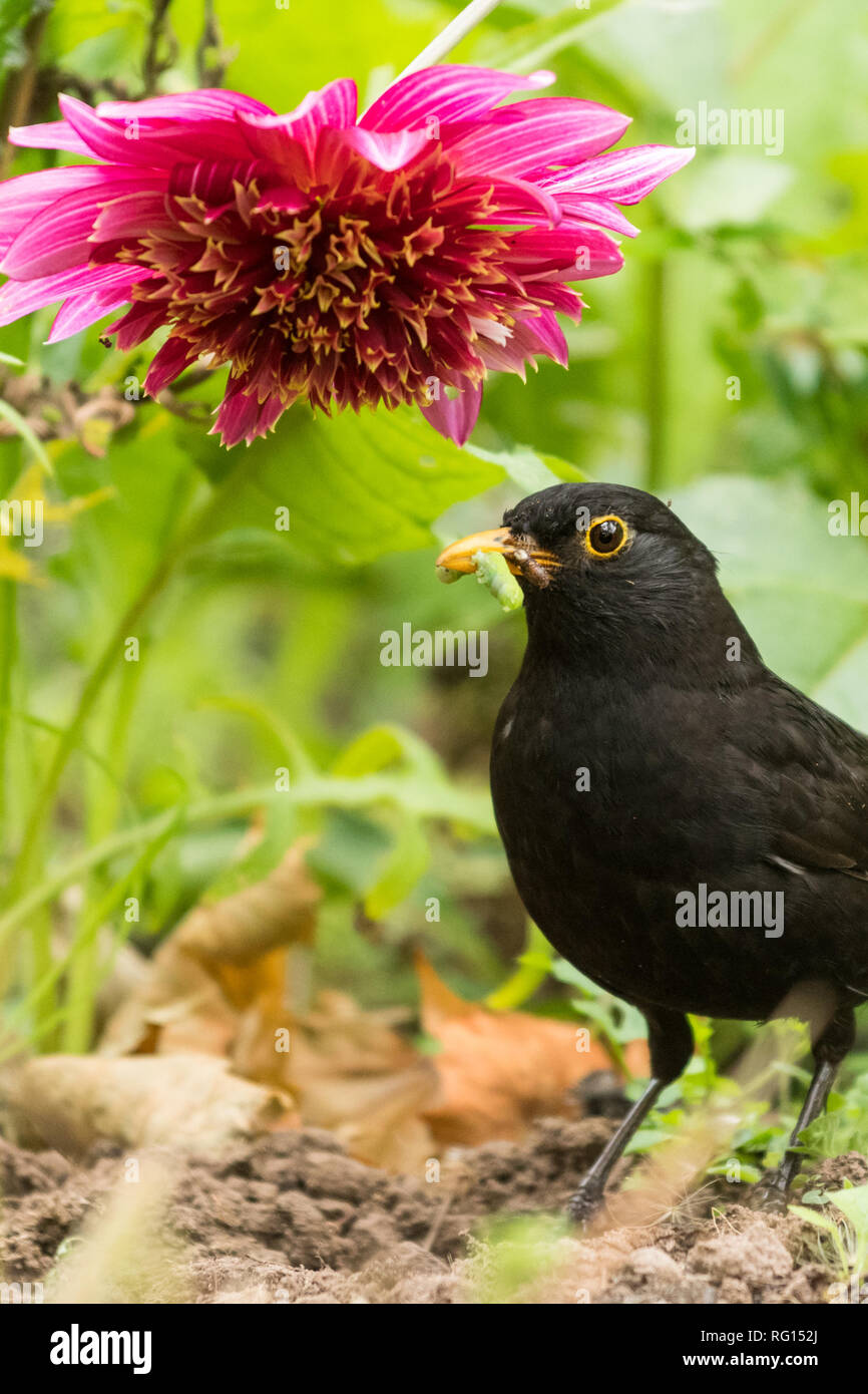 Blackbird (male) Turdus merula - collecting caterpillars and grubs in a uk garden - Stock Image