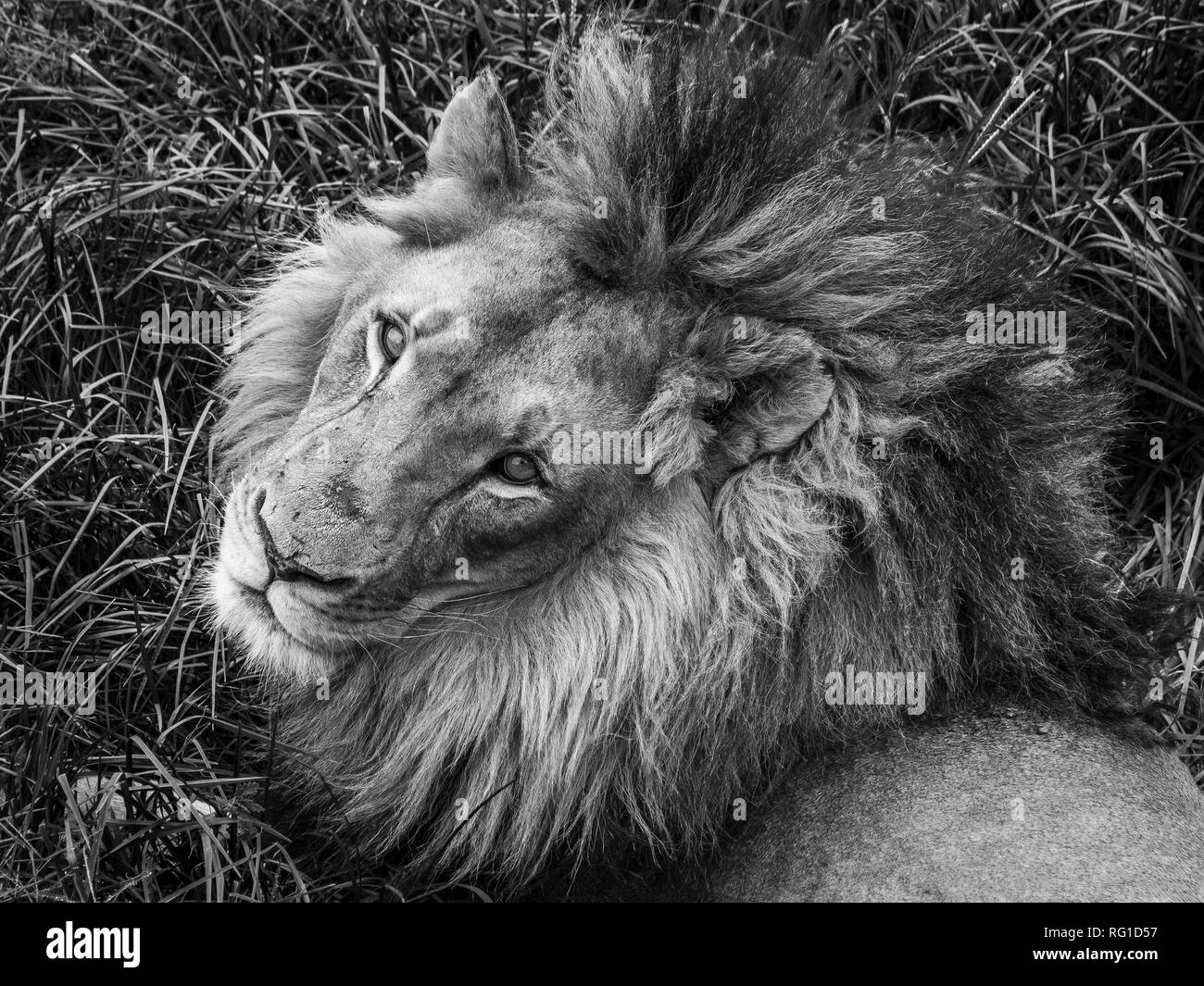 Desolation Lion's eyes are quite large with round pupils that are three times as big as a human's. - Stock Image