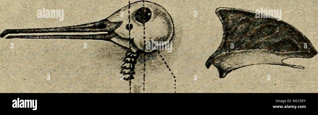 ". The Canadian field-naturalist. January, 1935] The Canadian Field-Naturalist 19. /I. B C Woodcock—Skull. Showinz both the ear and the articulation of the spinal veriebrse on line A. in front of the eye, S. C. is the point whence the vertebra: would normally spring. ""The skull itself, together with a sketch and a few words of description, I sent to the Field, in which paper the note appeared a week or two later, the Editor confirming its accuracy. The second sketch shows the curious ""flutings"", or corrugations, on the sternum of a woodcock. What purpose (if any) they serve is ob Stock Photo"