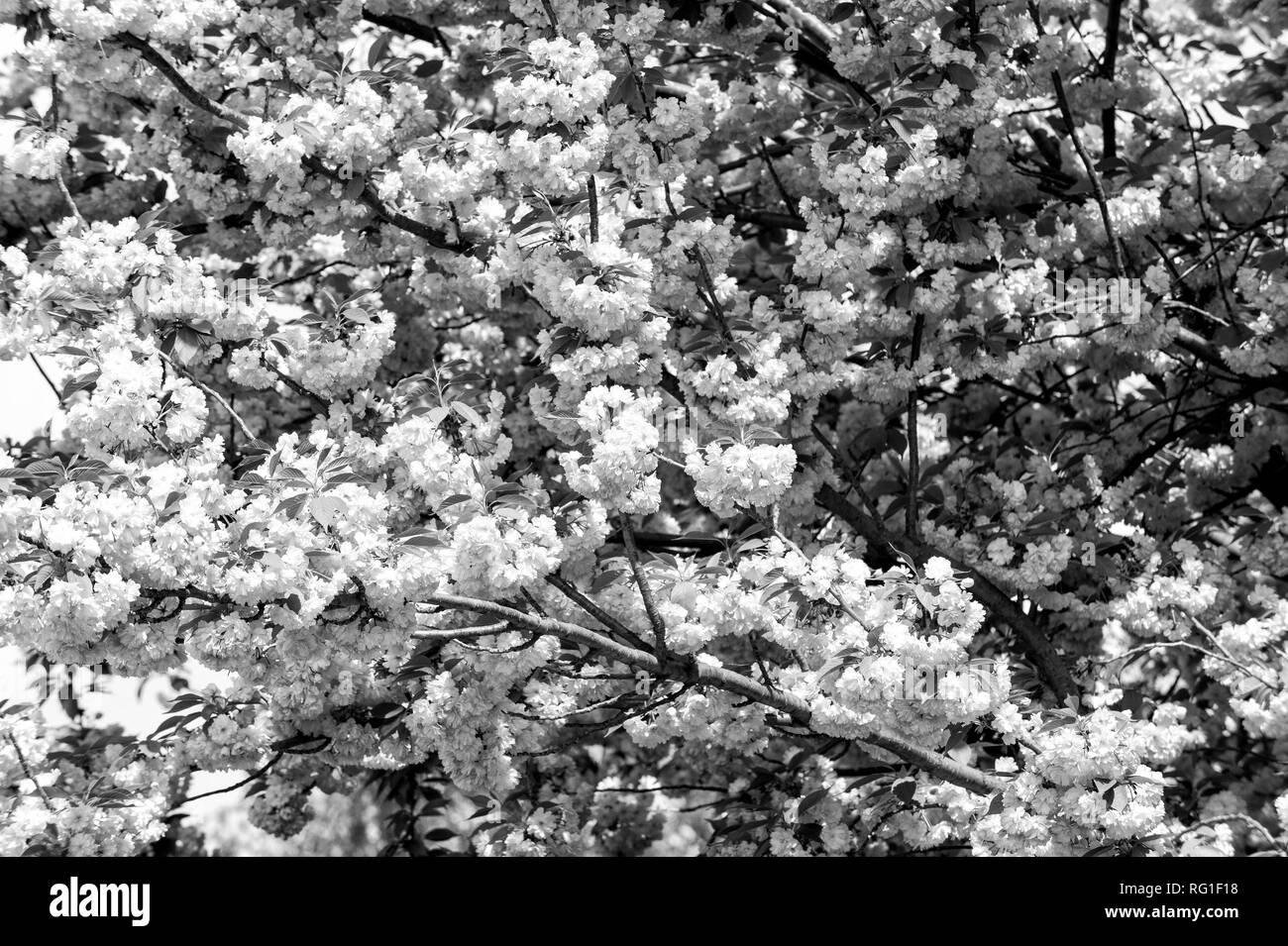Cherry tree in pink blossom on sunny day. Sakura flowers blossoming in spring. Nature, beauty, environment. Sakura blooming season concept. Renewal, rebirth, new life awakening. - Stock Image
