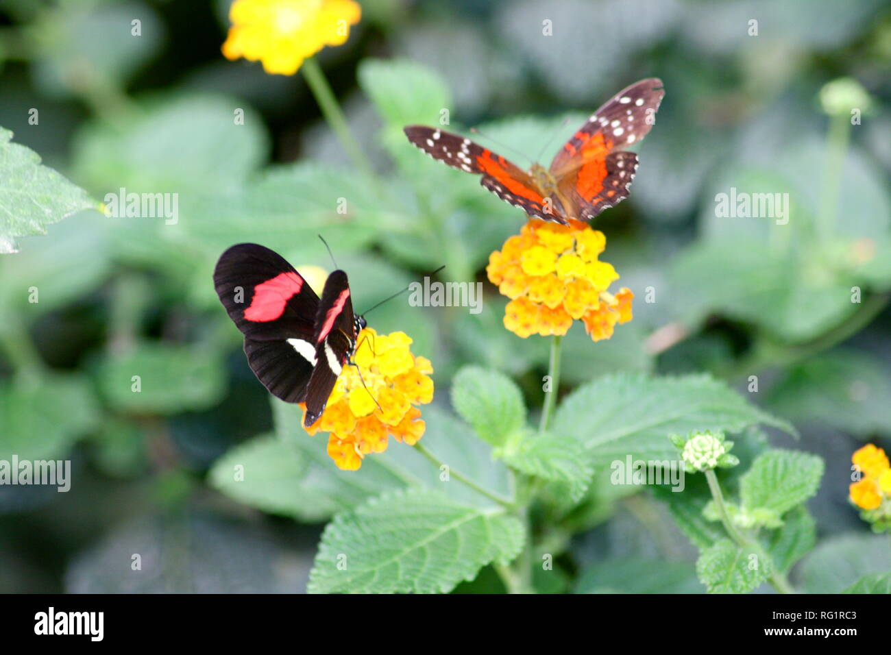 A very nice colorful butterfly - Stock Image