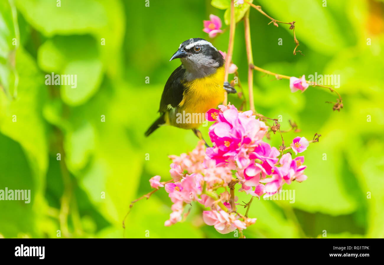 Bananaquit (Coereba flaveola) Small, yellow and black bird on pink flowering shrub in Speyside, Tobago. The Bananaquit is feeding on nectar. Landscape - Stock Image