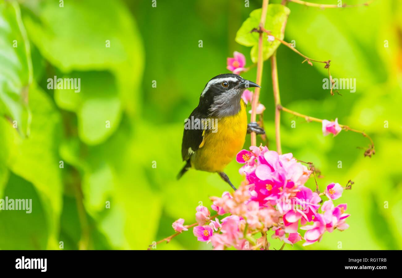 Bananaquit (Coereba flaveola) Small, yellow and black bird on pink flowering shrub in Speyside, Tobago. The Bananaquit is feeding on nectar. Landscape - Stock Image