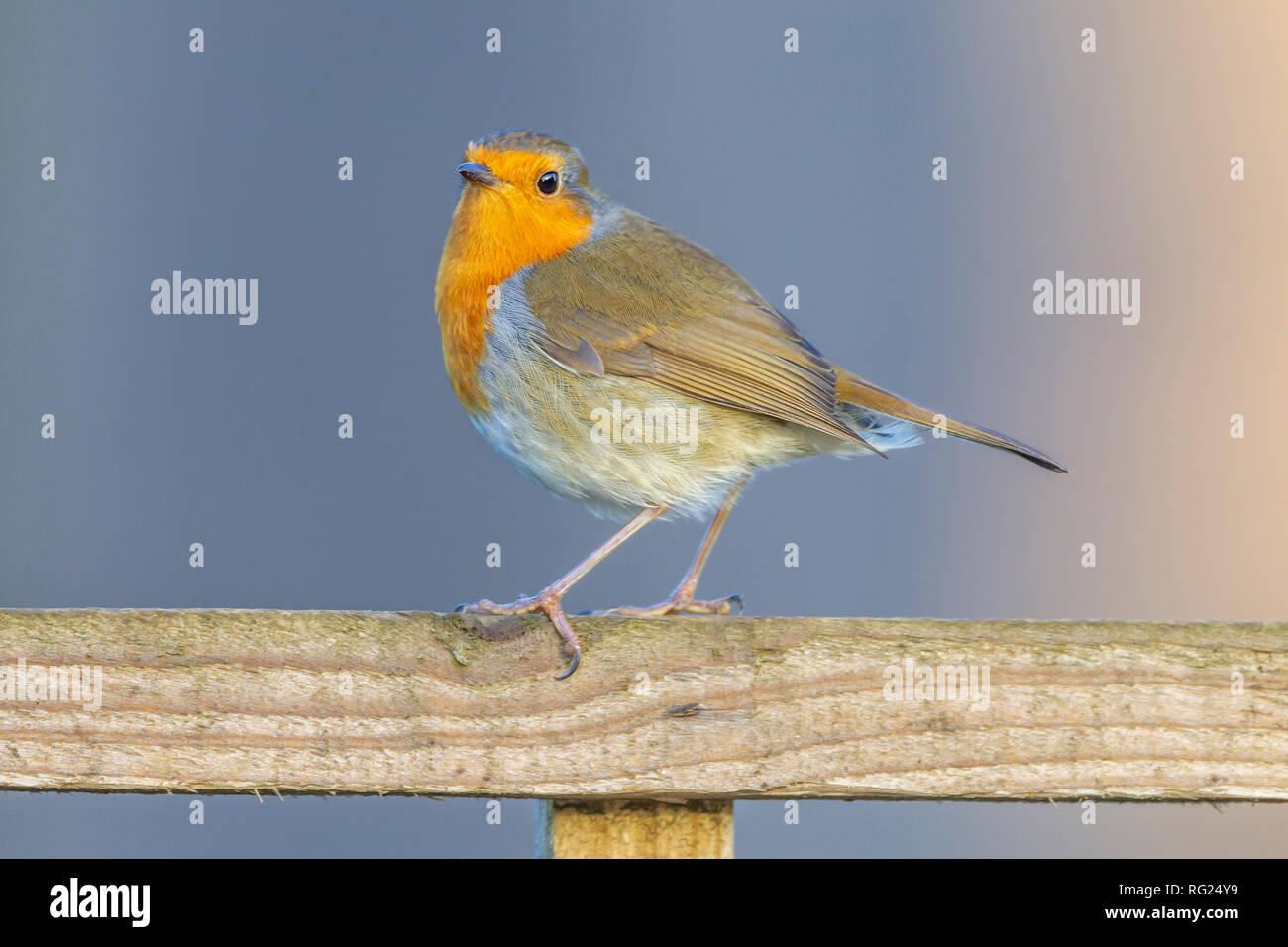 Northampton, UK. 27th January 2019. RSPB's Big Garden Birdwatch marks 40 years. Credit: Keith J Smith./Alamy Live News - Stock Image