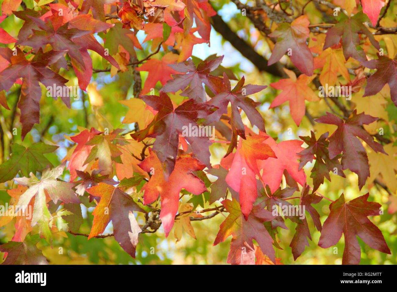 Liquidambar Styraciflua Vibrant Autumn Colours Of Sweet Gum Tree Leaves October Uk Stock Photo Alamy