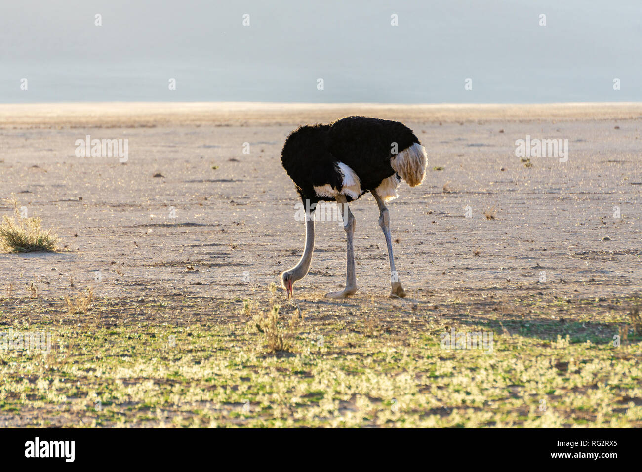 scared ostrich burying its head in sand concept adventure - Stock Image