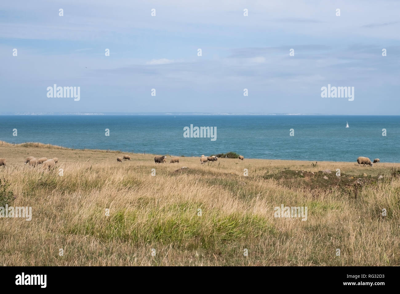 Fields with sheeps along the Opal North sea coast in France - Stock Image