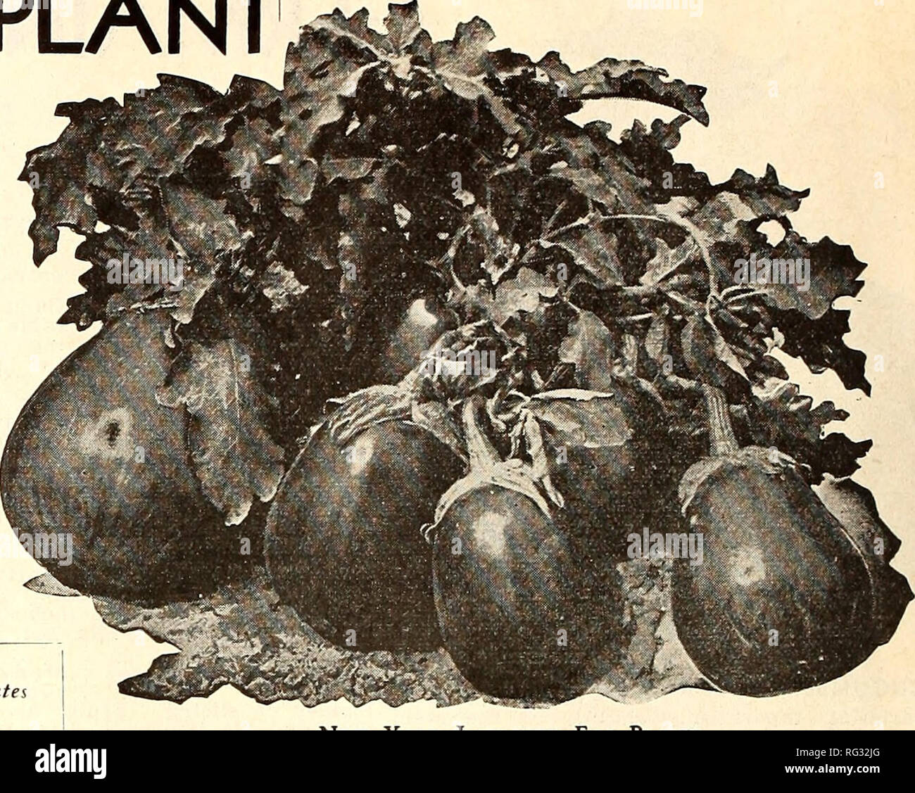 """. California gardening. Nurseries (Horticulture) Catalogs; Flowers Seeds Catalogs; Plants, Ornamental Catalogs; Vegetables Seeds Catalogs; Fruit trees Catalogs; Grasses Seeds Catalogs. GERMAIN'S EGG PLANT Ambergine, Fr. Bercnjena, Sp. Petonciamo, Ital. Eierfrucht, Ger. Note—Prices listed are postpaid. (""""Mil TURF The plants should be started under glass if ^ wanted early. If later results are desired, seed should be planted in cold frames or in boxes where special care can be given. Egg plant seed is very delicate and will not grow unless special care is given it. It is easily affected by  Stock Photo"""