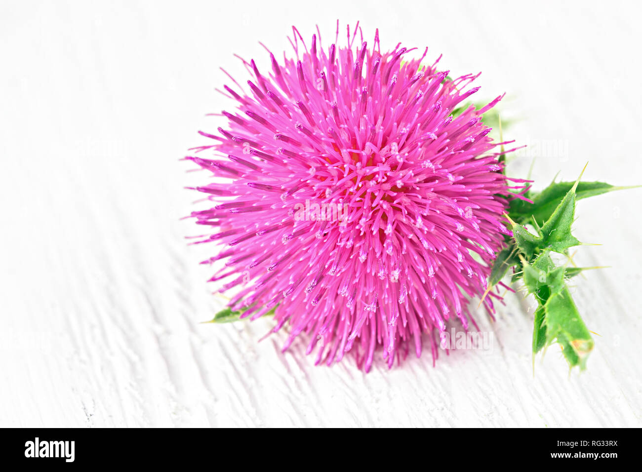 Silybum marianum (milk thistle) flowers on a white wooden table (selective focus).One of the most common uses of milk thistle is to treat liver proble - Stock Image