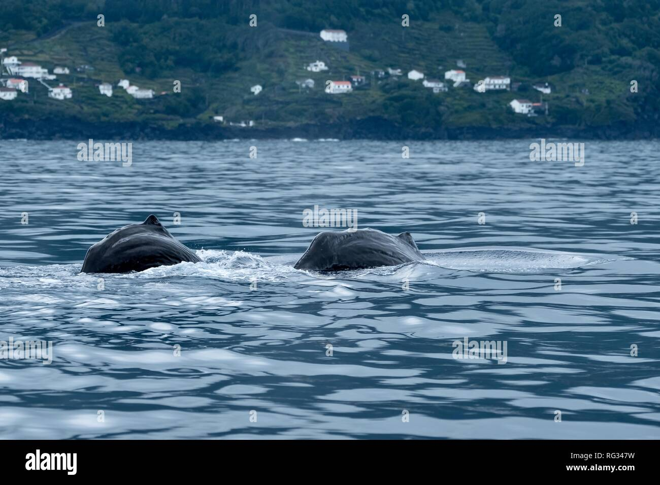 Mother and calf sperm whales arch their backs to dive - Stock Image