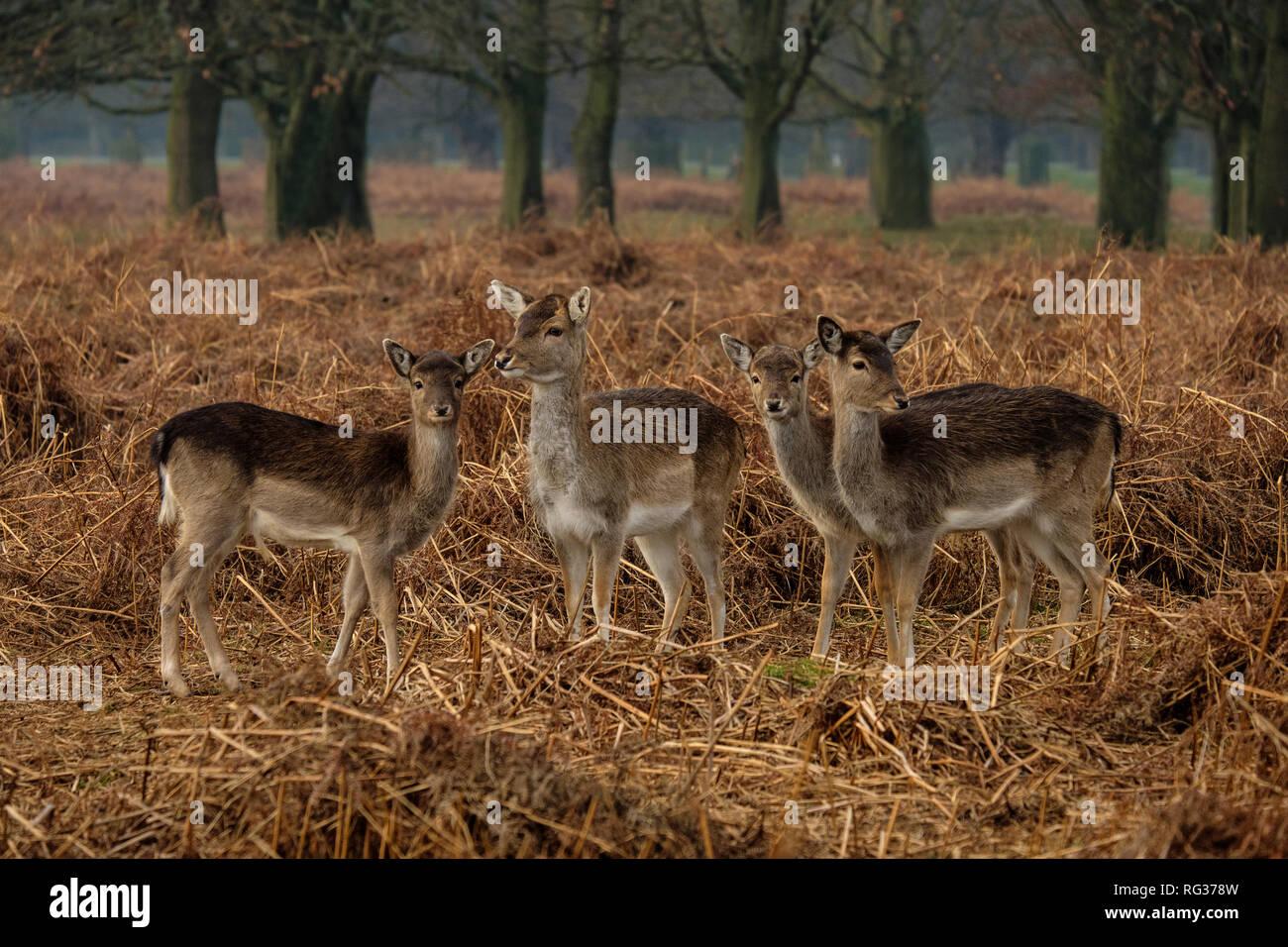 Group of four Fallow Deer Dama dama at Bushy Park Hampton London England Stock Photo