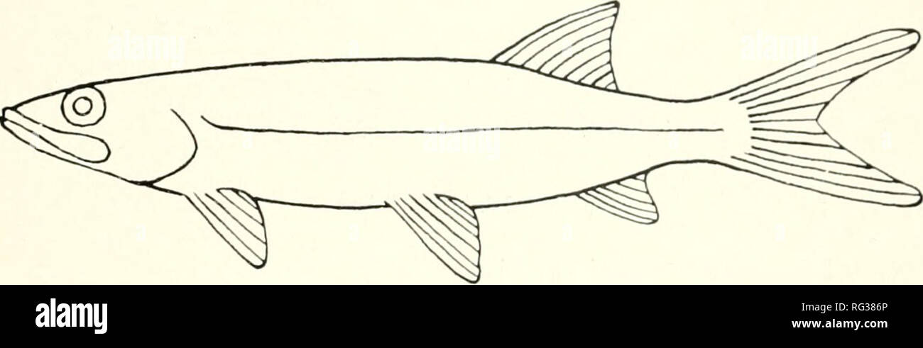 . California fish and game. Fisheries -- California; Game and game-birds -- California; Fishes -- California; Animal Population Groups; Pêches; Gibier; Poissons. -^ FIGURE 6. Gasterosteidae 4b. Dorsal fin not preceded by free spines, all spines present con- nected by membranes-. 5 5a. Gnlar plate (Figure 27) present between branches of lower jaw. Euryhaline. Figure 7  ELOPIDAE—ladyfish family.  Macbete; Elops affinis Regan. FIGURE 7. Elopidae 5b. Gular plate absent   6 6a. Body without scales 7 6b. Body with scales (one exception in Cyprinidae). 8 7a. Chin with barbels; adipose fin present. Fi Stock Photo