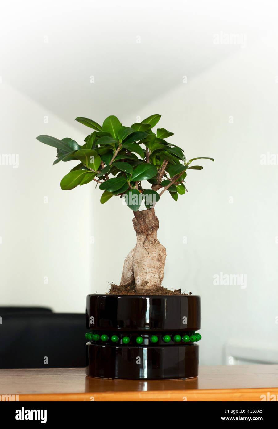 Close Up View Of A Beautiful Bonsai Ficus Ginseng In A Black Pot Feng Shui Mini Tree Stock Photo Alamy