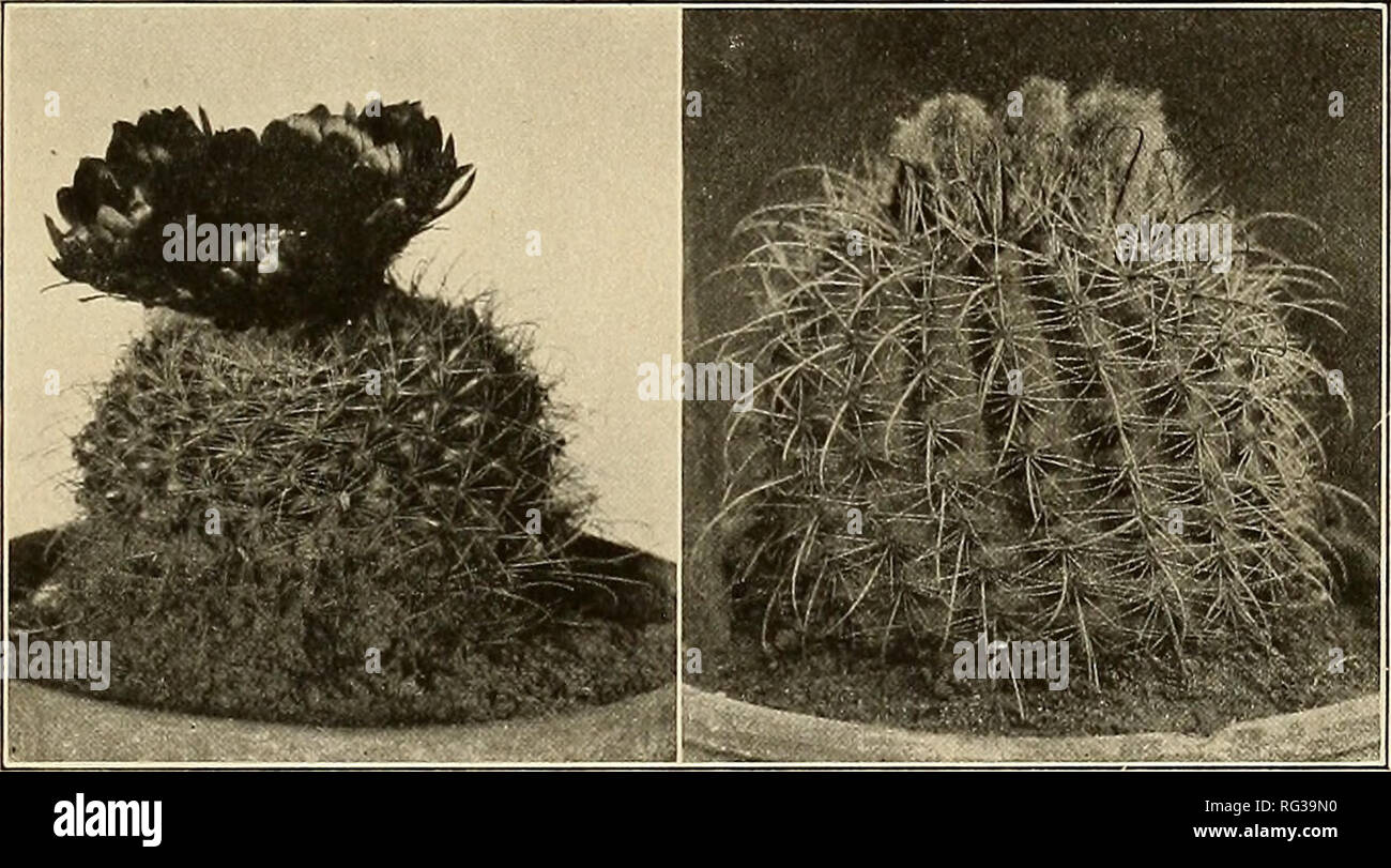 The Cactaceae : descriptions and illustrations of plants of